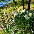 Spring Daffodils.park Keukenhof by Jenny Rainbow