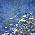 Spring Daisies by Guido Montanes Castillo