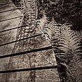 Spring Ferns Beside The Limehouse Boardwalk by Alan Norsworthy