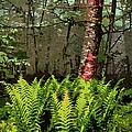 Spring Ferns Of The Blue Ridge 3 Ap by Dan Carmichael