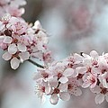 Spring Flowering Tree In Spring by P S