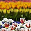 Spring Flowers 11 by Arterra Picture Library