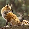 Spring Fox by Mircea Costina Photography