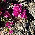 Spring From Rocks by Cheryl Staruck