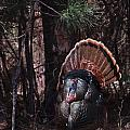 Spring Gobbler by Ronald Lutz