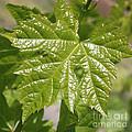 Spring Grape Leaf by Carol Groenen