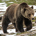 Spring Grizzly Bear by Jack Bell