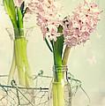 Spring Hyacinths by Amanda Elwell