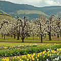 Spring In The Hood River Valley by Nick  Boren