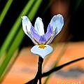 Spring Iris by Carol  Bradley