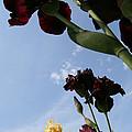 Spring Iris Skies by Susan Herber