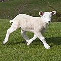 Spring Lamb by David Isaacson