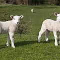 Spring Lambs by David Isaacson