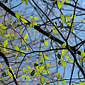 Spring Leaves 2 by Mary Bedy