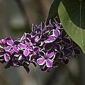 Spring Lilac by Elsa Marie Santoro
