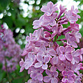 Spring Lilac by Tikvah's Hope