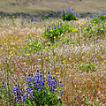 Spring Lupines And Cheatgrass by Carol Groenen