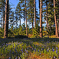 Spring Lupines In The Forest by Lynn Bauer