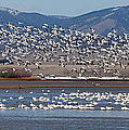 Spring Migration by Fran Riley
