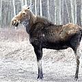 Spring Moose by Darlene DeBoer