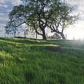 Spring Oaks by Stu Shepherd