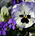 Spring Pansy Flower by Ed  Riche