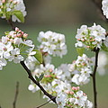 Spring Pear Blooms by Greg Short