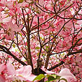 Spring Pink Dogwood Tree Blososms Art Prints by Baslee Troutman