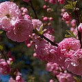 Spring Pink Flowering by Sheila OBrian