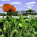 Spring Poppies by Joe Geraci
