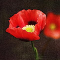 Spring Poppies by Terry Fleckney
