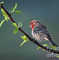 Song Bird In Spring by Nava Thompson