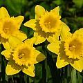 Spring Quartet by Susie Peek