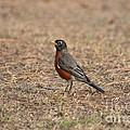 Spring Robin 2014 by Maria Urso