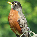 Spring Robin by Richard Bryce and Family