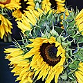 Spring Sunflowers by Lilliana Mendez
