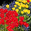 Spring Sunshine by Carol Groenen