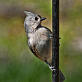 Spring Titmouse 1 by Photos By  Cassandra