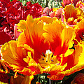 Spring Tulip Flowers Art Prints Yellow Red Tulip by Baslee Troutman