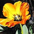 Spring Tulip by Glenn Beasley