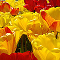 Spring Tulips Art Prints Yellow Red Tulip Flowers by Baslee Troutman