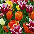 Spring Tulips by Jane Harris