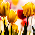Spring Tulips by Pamela Taylor