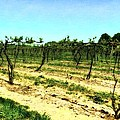 Spring Vineyard Ll by Michelle Calkins