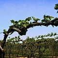 Spring Vineyard by Michelle Calkins
