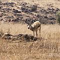 Springbok by Douglas Barnard