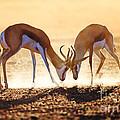 Springbok Dual In Dust by Johan Swanepoel