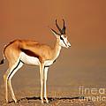 Springbok On Sandy Desert Plains by Johan Swanepoel