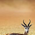 Springbok Resting On Green Desert Grass by Johan Swanepoel
