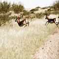 Springbok Running by Samantha Anne Hutchinson